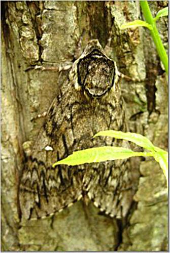 moth3