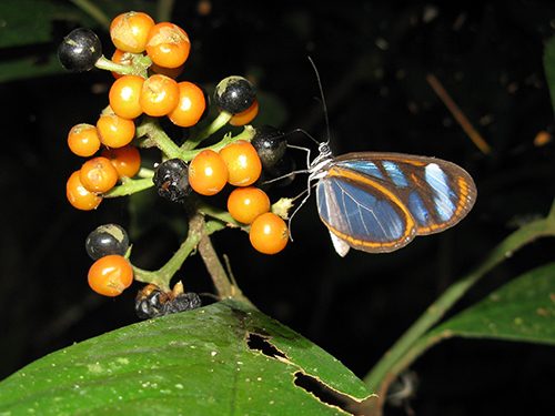 Clear winged butterflies